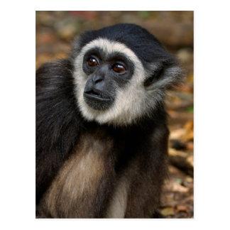 White-Handed Gibbon (Hylobates Lar), Monkeyland Postcard