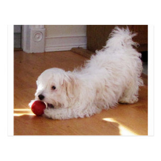 White Havanese Puppy Playing with Red Ball Postcard