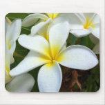 White Hawaii Plumeria Flower
