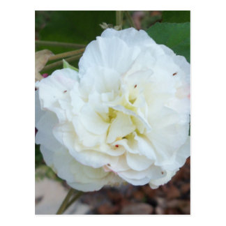 white hibiscus mutabilis flower postcard