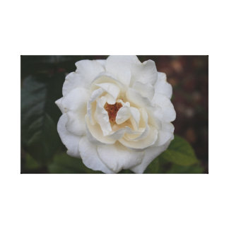 White Home and Family Rose Stretched Canvas Print
