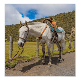 White Horse Tied Up at Cotopaxi National Park Poster
