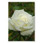 White Hybrid Tea 'Mrs. Herbert Stevens' Rose Photo Art