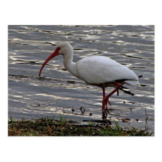 White Ibis Postcard