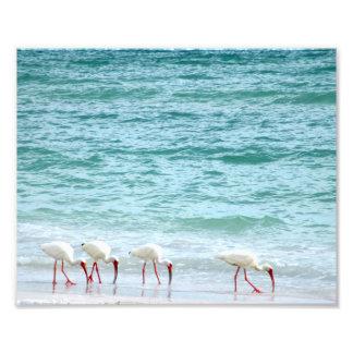 White Ibis Shorebirds Walking on the Beach Photo Art