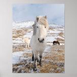 White Icelandic Horse, Iceland Poster