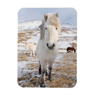 White Icelandic Horse, Iceland Rectangular Photo Magnet