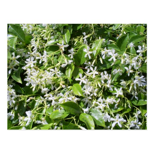White Jasmine Flowers Post Cards