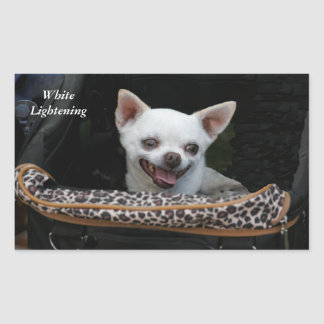 White Lightening Chihuahua