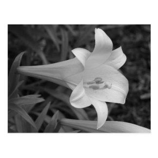White Lily Postcard