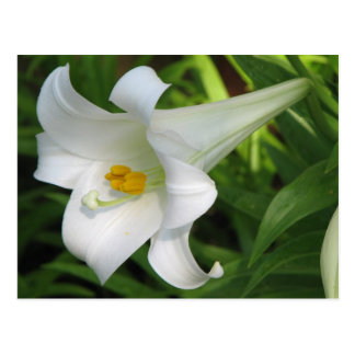 White Lily Postcards