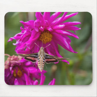 White-lined sphinx moth feeds on flower nectar 2 mouse pad