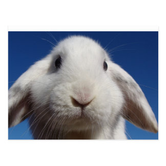 White Lop Rabbit Postcard