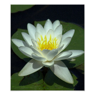 WHITE LOTUS BLOSSOM/CLOSE-UP/PHOTOG. POSTER