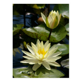 White Lotus Waterlilies Postcard