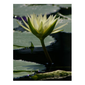 White Lotus Waterlily Postcard