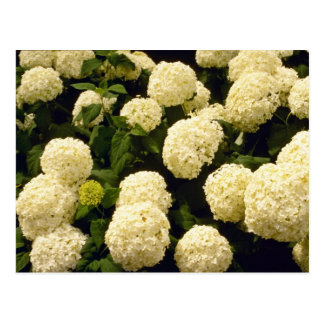 white Marigold flowers flowers Postcard