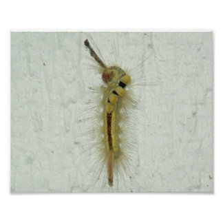 White-marked tussock Moth Caterpillar Photo Print.