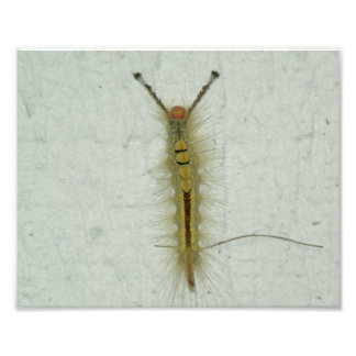 White-marked tussock moth Caterpillar Photo Print