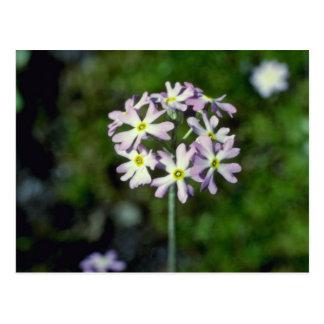 white Mealy Primrose (Primula Laurentiana) flowers Postcard