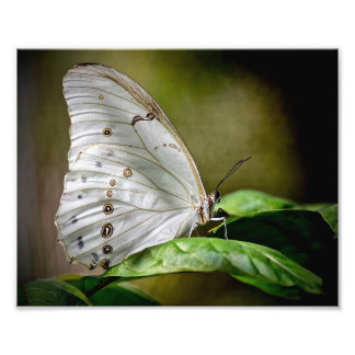 White Morpho Photo Print