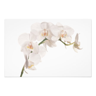 White Moth Orchid Photographic Print