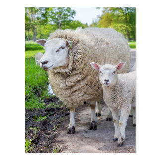 White mother sheep and lamb standing on road postcard