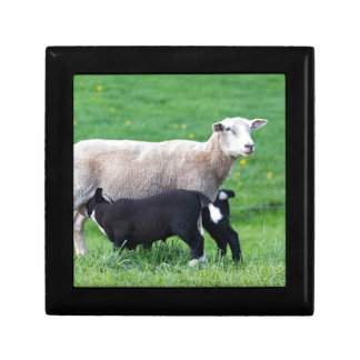 White mother sheep with two drinking black lambs jewelry boxes