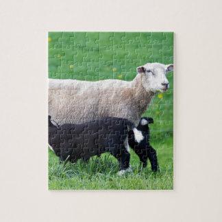 White mother sheep with two drinking black lambs puzzles