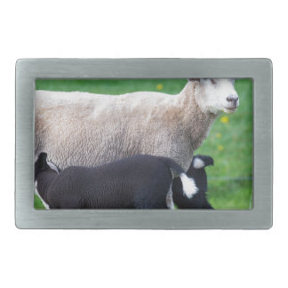 White mother sheep with two drinking black lambs rectangular belt buckles