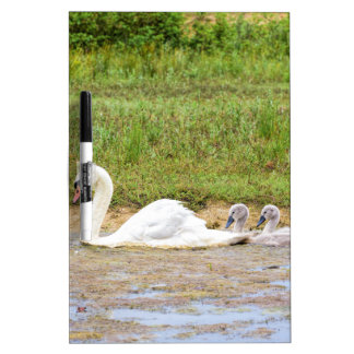 White mother swan swimming in line with cygnets Dry-Erase whiteboard