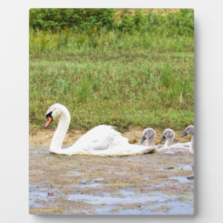 White mother swan swimming in line with cygnets plaque