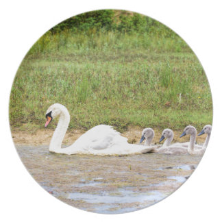 White mother swan swimming in line with cygnets plate
