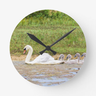 White mother swan swimming in line with cygnets round clock