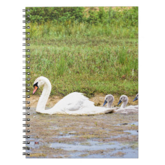 White mother swan swimming in line with cygnets spiral notebook
