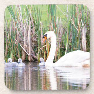 White mother swan swimming with chicks beverage coasters
