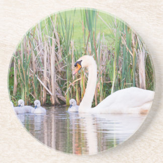 White mother swan swimming with chicks drink coaster