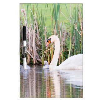 White mother swan swimming with chicks Dry-Erase whiteboards