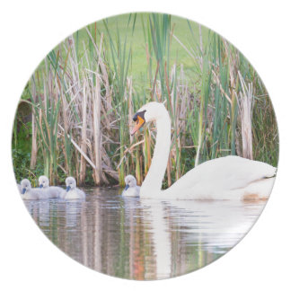 White mother swan swimming with chicks plate