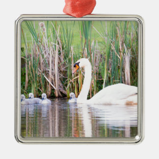 White mother swan swimming with chicks Silver-Colored square ornament