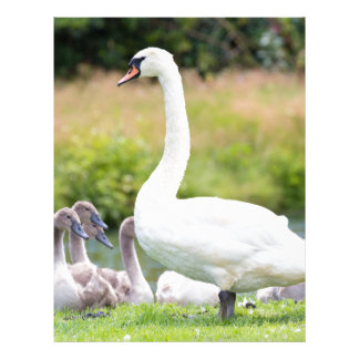 White mother swan with young chicks letterhead