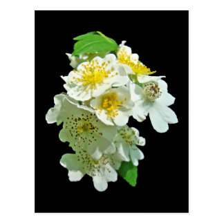 White Multiflora Roses Wildflower Postcard