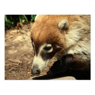 White Nosed Coati Postcard