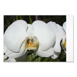 White Orchid 2 Photo