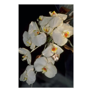 white Orchid bridal bouquet - Phalaenopsis flowers Poster