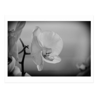 White Orchid - Postcard