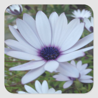 White Osteospermum Flower Daisy With Purple Hue Square Sticker
