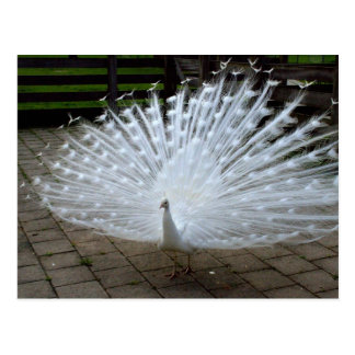 White Peacock Postcard