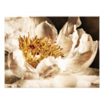 White Peony Flower Sepia Black Background floral Art Photo