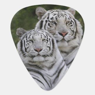 White phase, Bengal Tiger, Tigris Pick
